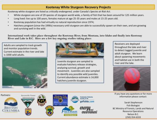 Kootenay White Sturgeon Recovery Projects